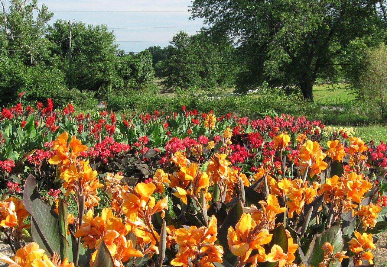American-Daylilies-Canna-Field