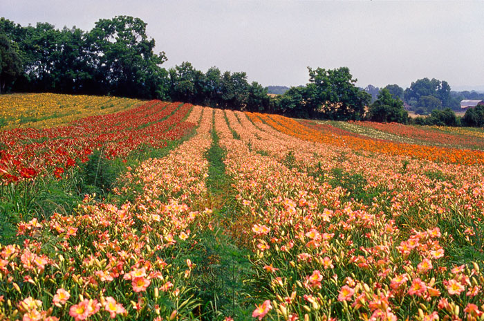 Chorus-Line-of-daylilies