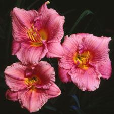 Siloam Flower Girl
