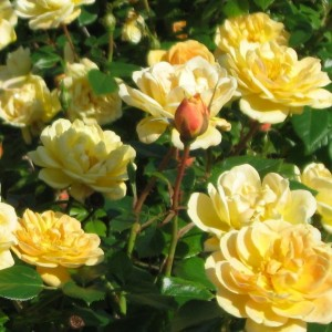 Sunrosa-Yellow-rose