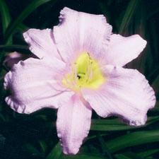 Lavender Bonanza
