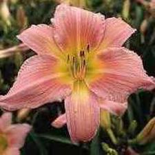 Corryton Pink (Tet)