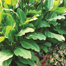Musifolia